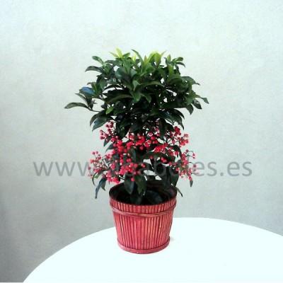 Planta de Ardissia