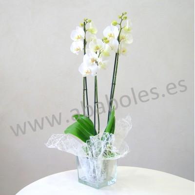 Planta de Orquídea de 3 varas