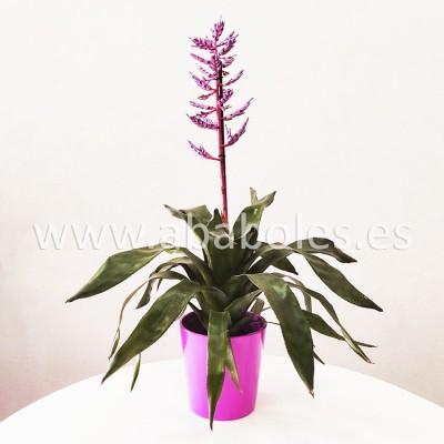 Planta de Aechmea