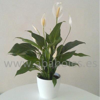 Spathiphyllum con macetero