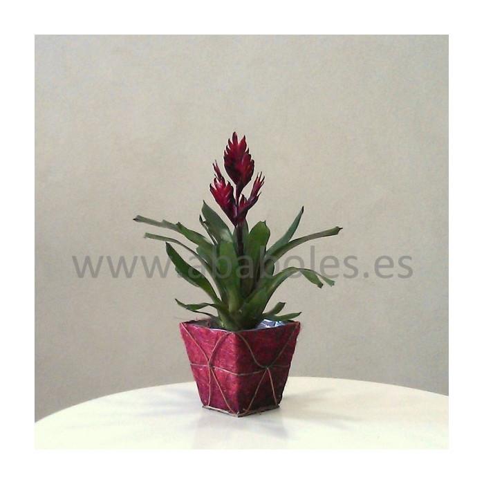 Planta de Vriesea