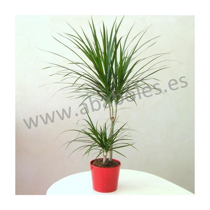 Planta de Drácena Marginata