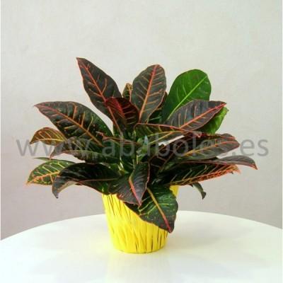 Planta de Croton